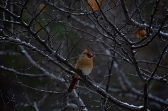 Female Cardinal on the snowy tree